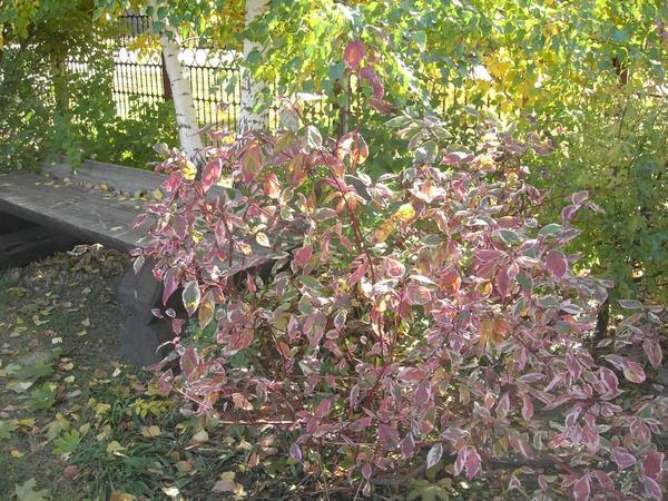 Ну вот и Осень, дерен белый стал красным.