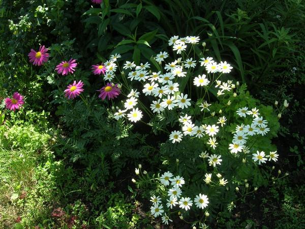 Ну как в лесу без ромашек?  Белые – танацетум, за ним перетрум девичий Вегмо (тут еще не цветет) ну и чуть – чуть для цвета перетрум розовый.