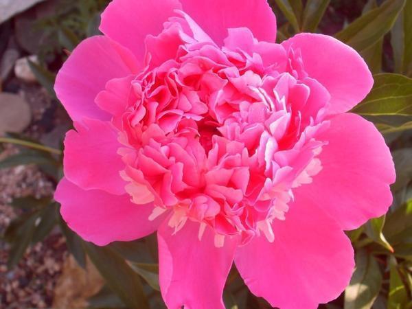 Мои цветы на даче