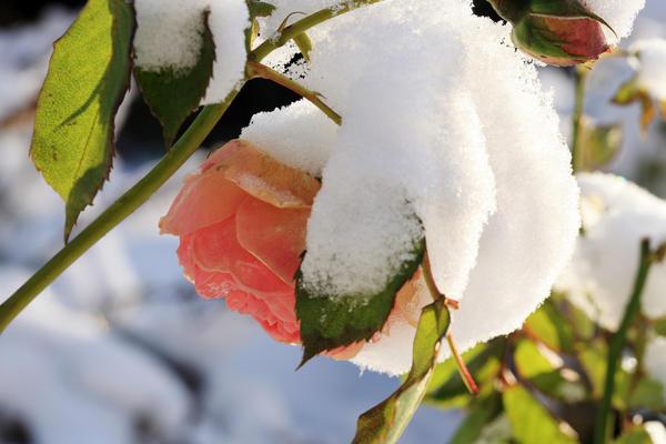 Красавица роза требует бережного отношения и особого внимания