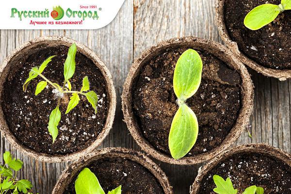 I этап: Посев, тест на всхожесть, появление первых настоящих листьев