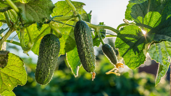 Цветение, плодоношение, характеристика плодов, урожайности