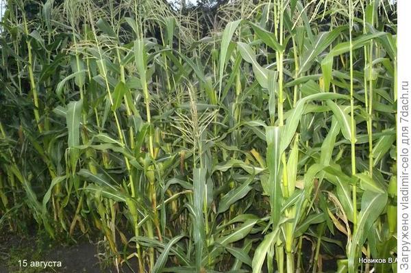 кукуруза растёт