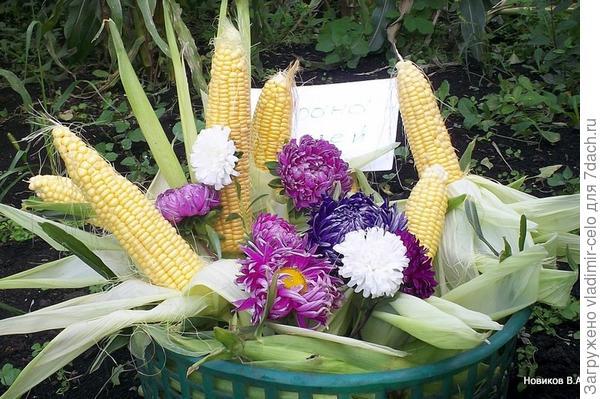 кукуруза, натюрморт