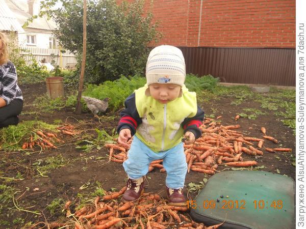 Рамзан помогает собирать морковь