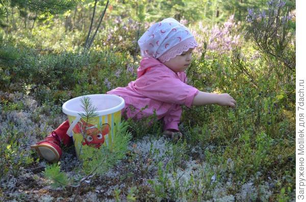 Собираем черничку в лесу :)