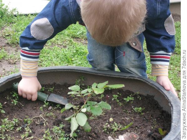 Весной садим розочки!
