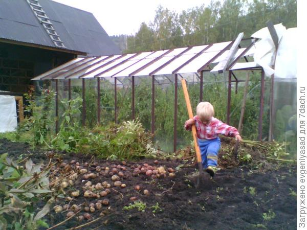 Бабушка с мамой устали копать картофель и я пришёл на помощь