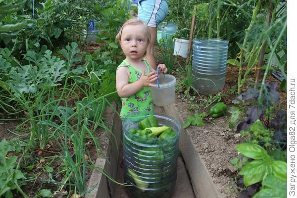 Мирон собирает урожай в теплице