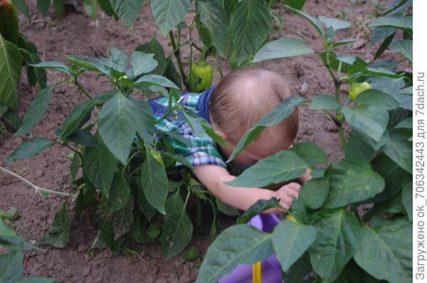 Перцы зрели, вырастали, очень так старались. И под крупными листами соком набирались.
