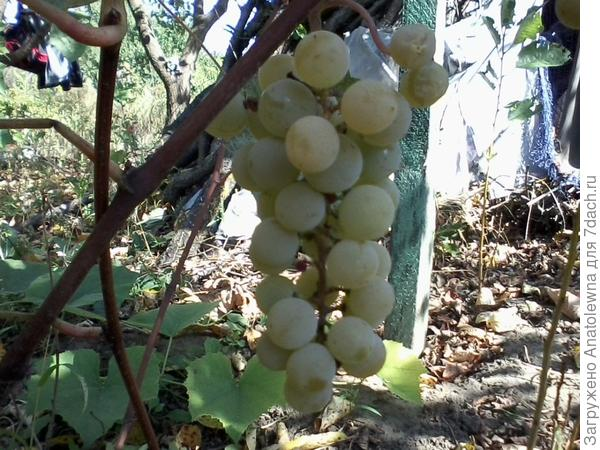 виноград нога