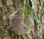 парша на листе груши