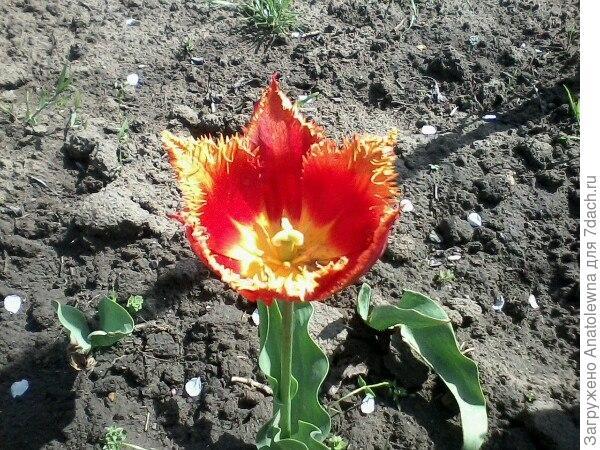 Этот тюльпан раскрылся самым последним, я долго ждала, когда же он покажется, потом, какого цвета  какой будет.