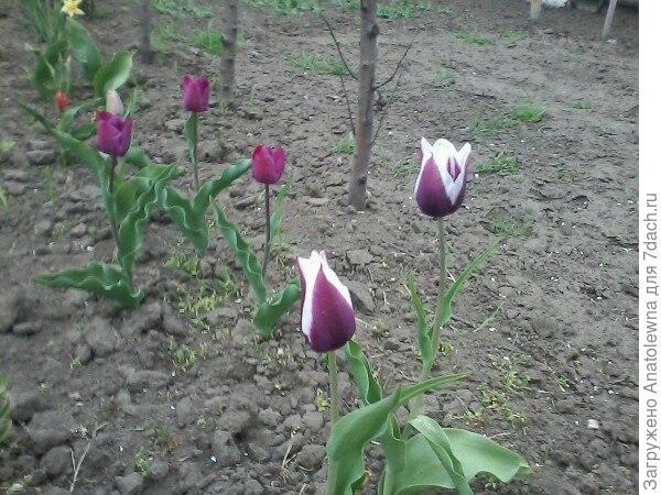 А вот эти тюльпанчики, росли здесь, только в траве, их почти не было видно. Наткнулась случайно, решила пересадить, вдруг, примутся, посмотрю, какие это цветы. Оказалось, что очень красивые тюльпаны.