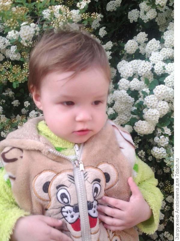 фотографировали внучку на фоне цветущей спиреи. Сейчас уже тёмные, осыпавшиеся кусты. Но, начинает показывать бутоны жасмин - чубушник.