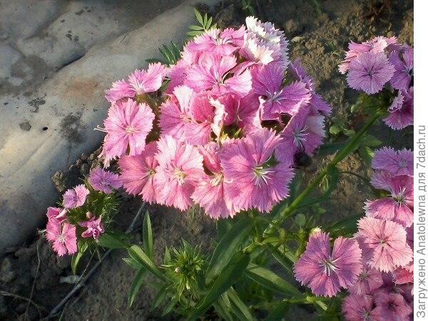 Ну и конечно же, как обойтись без украшения участка - без цветов? Купила рассаду гвоздичек, посадила шесть кустиков, выросли гвоздички все разные, но красивые.