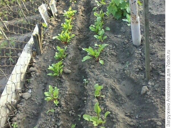 Между виноградом и соседским забором решила посеять свеклу, вот она взошла.