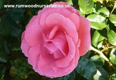 роза сорта Лавиния