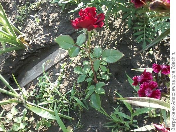 Вот так выглядит кустик розы, маленький ещё.