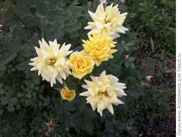 соседские розы