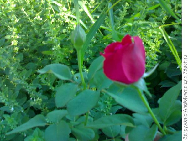 зацвела роза на 3 год