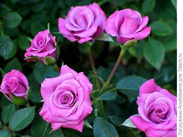 """сайт магазина """"Сады Семирамиды"""" - Миниатюрная роза Lavender Meillandina, Высота растения 45-50 см"""