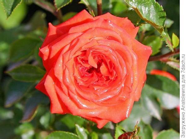 """сайт интернет-магазина """"ВСЕСОРТА"""" -  Высота кустика розы «Оранж Джевел» достигает от 30 до 50 см,"""