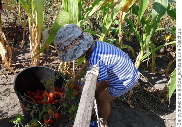 сборщик урожая