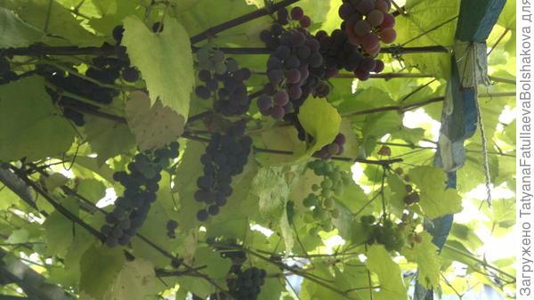 наш виноград