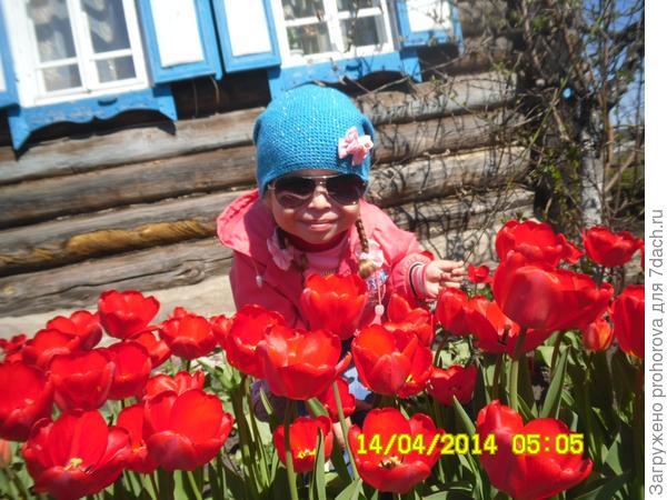 наш тюльпаны