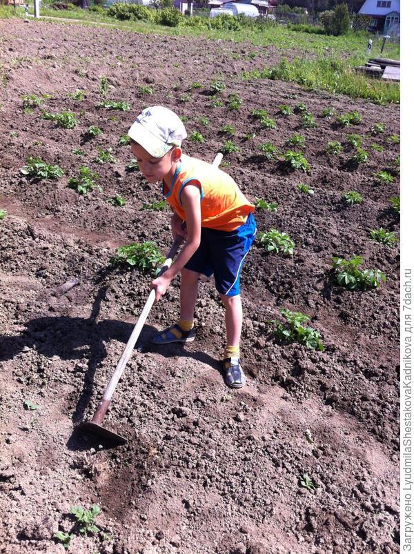 сын помогает окучивать картофель