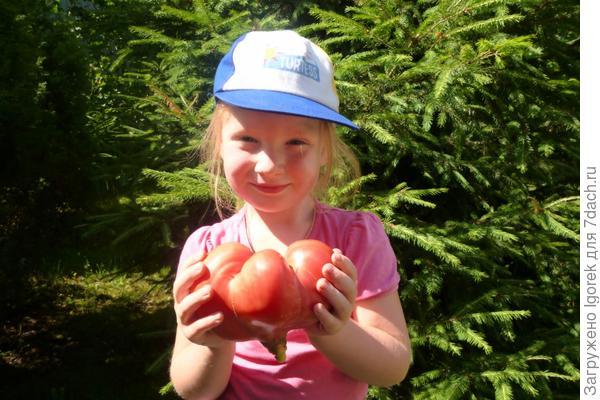 Маша и первый помидор