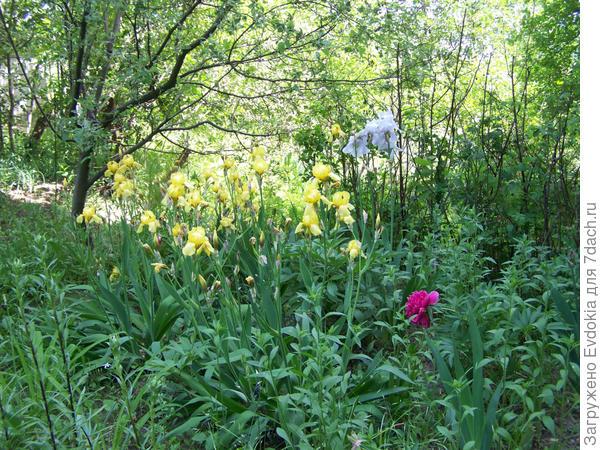 Желтые ирисы в палисандичке