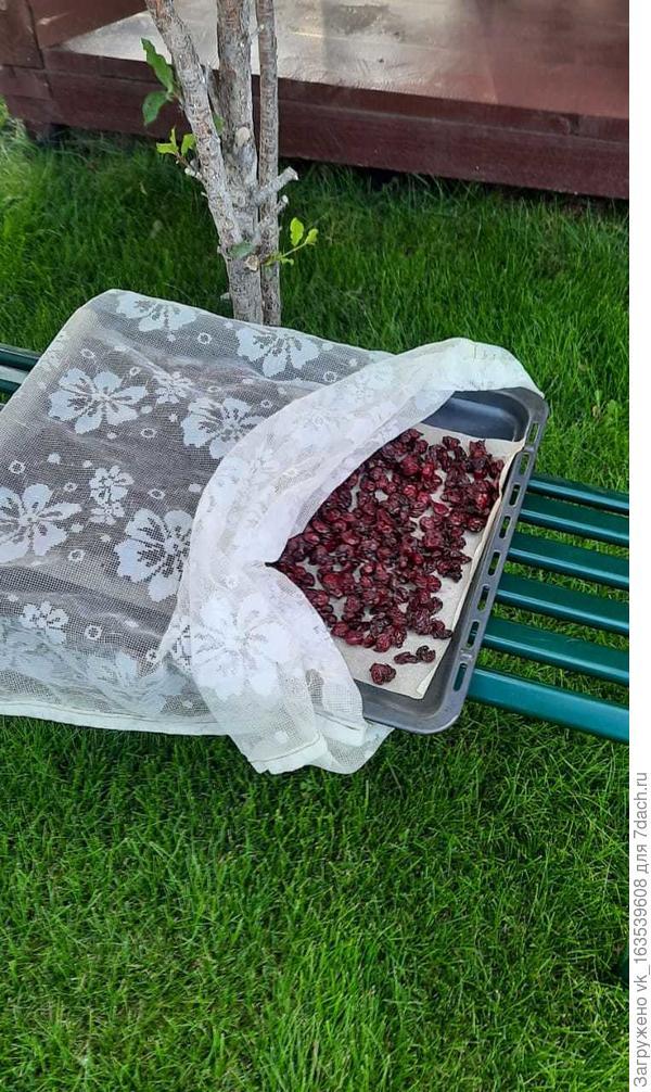 Вяленая сладкая вишня на зиму. Пошаговый рецепт приготовления с фото