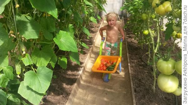 Наша малышка собирает урожай в парнике и вывозит его на тачке.