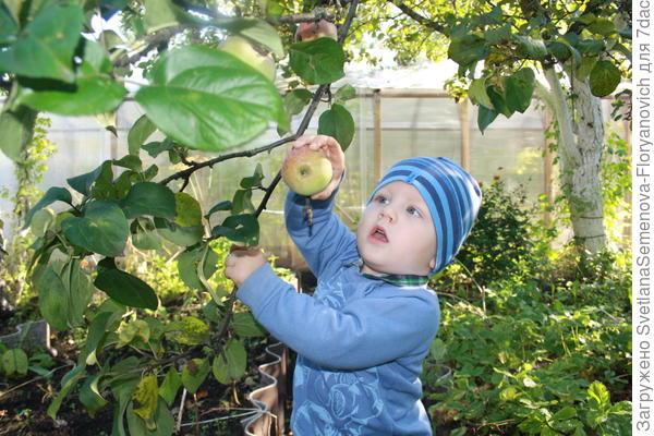Вот так Дениска собирает яблочки