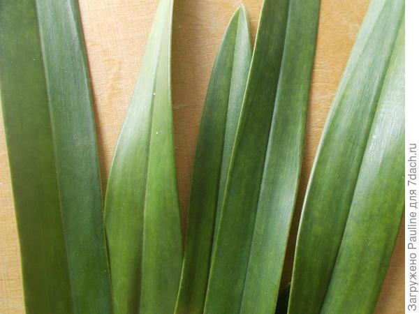 Сегодняшнее фото листьев с бледно-жёлтыми пятнами.