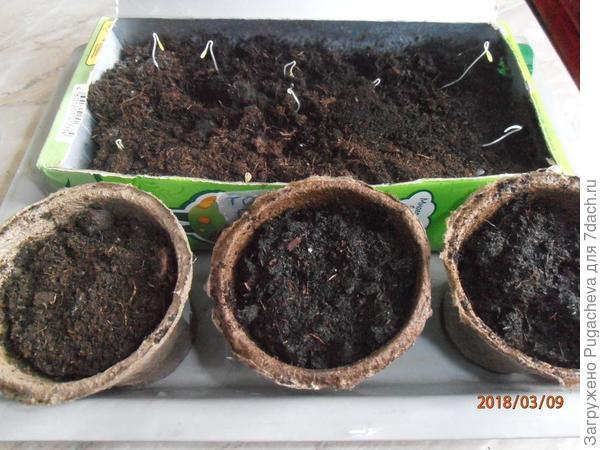 Всходы томатов в коробке и в горшочках