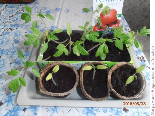 рассада томатов в коробке и торфяных горшочках