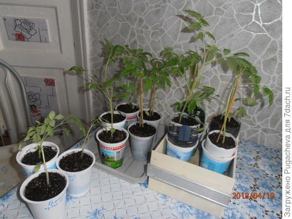 томаты с надставленными стаканчиками и добавленной земелькой