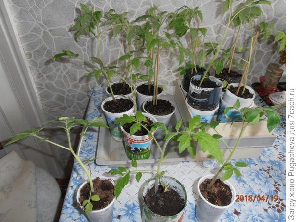 впереди обычные томаты,а сзади Грифон