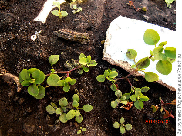 расползающиеся ростки обриеты