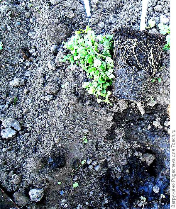 мощные корни кабачков