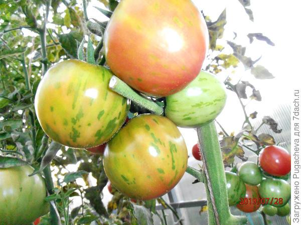 ...томатики на ветке