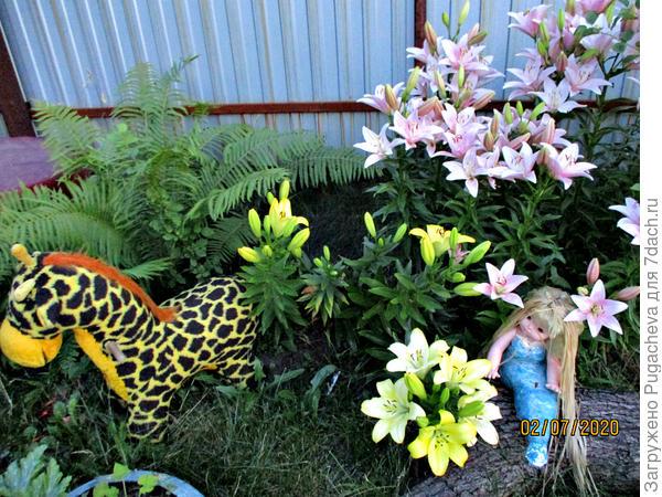 Наши лилии.
