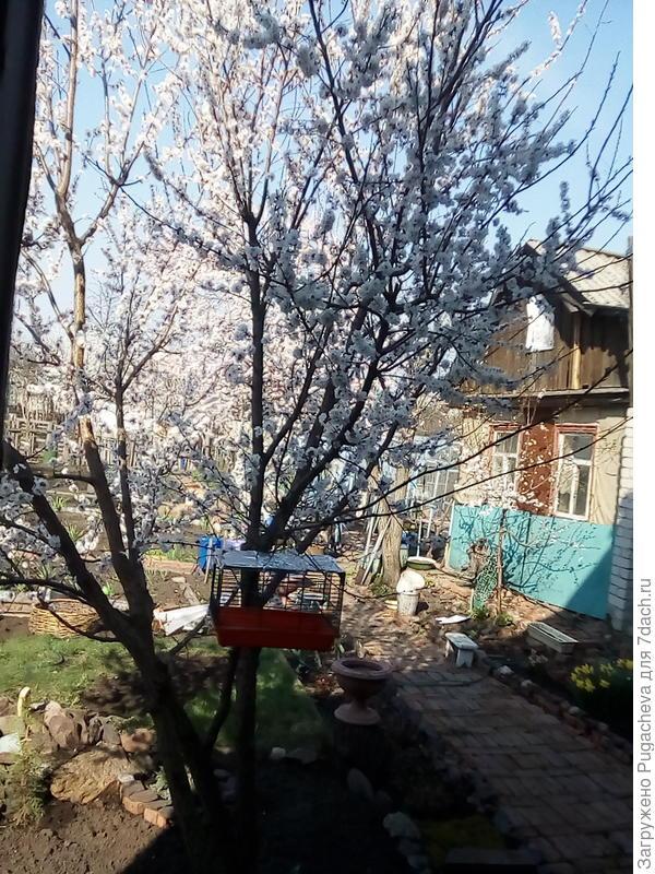 Снова цветёт абрикос.