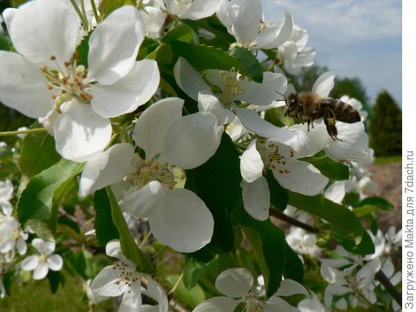 цветет Долго
