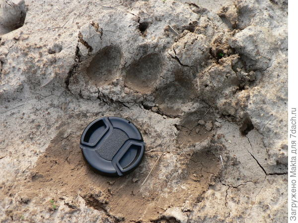 Медвежий след