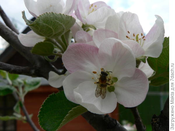 Цветет Медуница