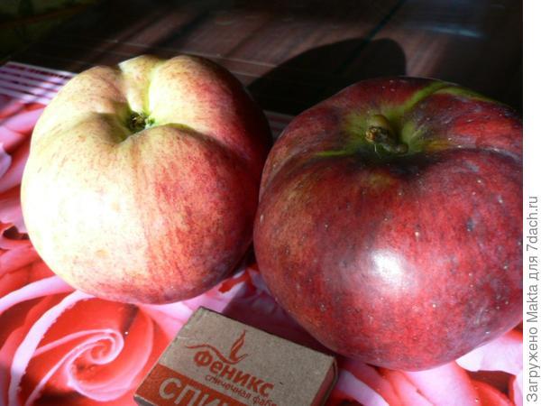 Самые первые яблоки